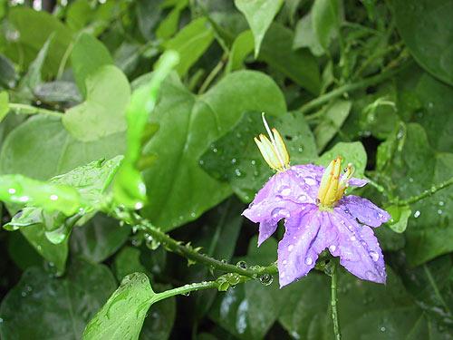 Ca ba thuy   Solanum trilobatum L