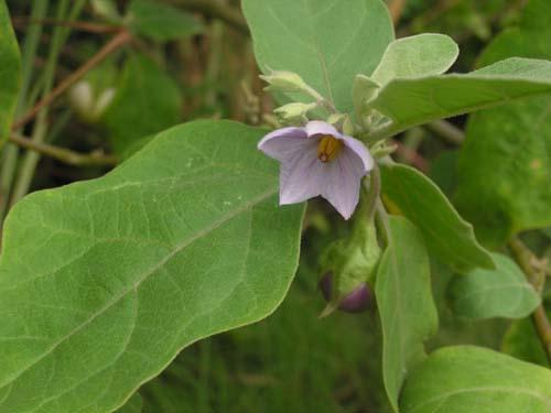 Ca phao   Solanum undatum